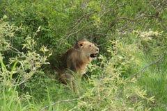 Jong leeuw gebrul Stock Foto's