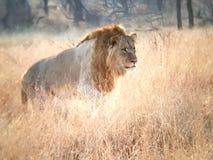 Jong leeuwmannetje stock foto