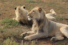 Jong leeuwprofiel Stock Foto