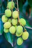 Jong litchifruit (het fruit van Azië) op de boom Stock Afbeeldingen