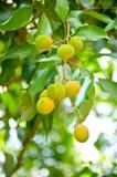 Jong litchifruit op boom stock afbeelding