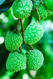 Jong Litchifruit op de boom, het Fruit van Azië Royalty-vrije Stock Foto's