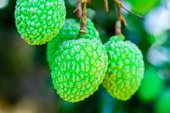 Jong Litchifruit op de boom, het Fruit van Azië Royalty-vrije Stock Afbeeldingen