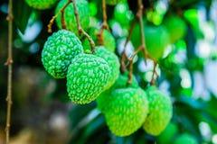 Jong Litchifruit op de boom, het Fruit van Azië Stock Afbeelding