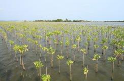 Jong mangrovenbos Stock Foto's