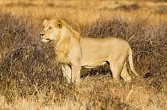 Jong Mannelijk Lion Standing in Gras Stock Afbeelding