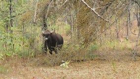 Jong mannetje gaur of Indische bizon die zich onder de bomen in het bos op een de winter zonnige dag bevindt stock footage