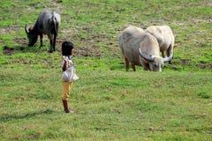 Jong meisje aan kuddebuffels en ossen bij de vroege ochtend Stock Foto