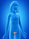 Jong meisje - de baarmoeder stock illustratie