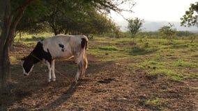 Jong melkvee op groen gebied 4k stock video