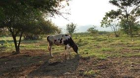 Jong melkvee op groen gebied 4k stock videobeelden