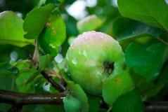Jong, milieuvriendelijk, appel op een tak van een appel t Royalty-vrije Stock Afbeeldingen