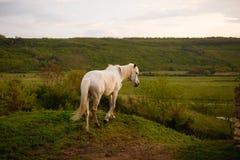 Jong Mooi Wit Paard in de Wildernis royalty-vrije stock afbeeldingen
