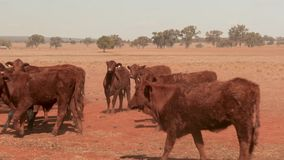 Jong nieuwsgierig vee die op een stoffig landelijk landbouwbedrijf tijdens droogte naderbij komen Droogte in Australië stock videobeelden