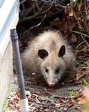 Jong opossum naast een huissproeier in voorgrond royalty-vrije stock afbeeldingen