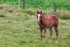 Jong Paard Royalty-vrije Stock Foto