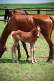 Jong Paard Royalty-vrije Stock Foto's