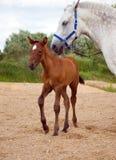 Jong paard .foal met ma Stock Afbeeldingen
