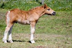 Jong paard in weide Stock Afbeeldingen