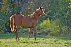 Jong Paard in weide Royalty-vrije Stock Foto