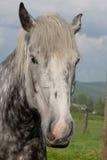 Jong Percheron-Ontwerppaard Royalty-vrije Stock Foto's