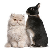 Jong Perzische kat en konijn Royalty-vrije Stock Afbeelding