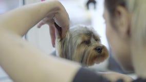Jong professioneel huisdier die groomer aan weinig leuk hondkapsel met schaar maken die pluizig met haar dichtbij oor beginnen stock videobeelden