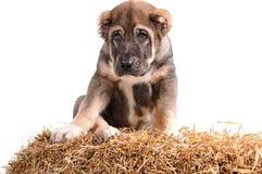 Jong puppy 3 maanden leeftijds op stro royalty-vrije stock afbeeldingen