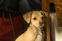 Jong Puppy Royalty-vrije Stock Afbeeldingen