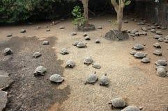 Jong schildpaddenlandbouwbedrijf, de Galapagos. stock foto's