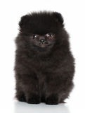 Jong Spitz puppy Stock Foto's