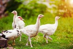 jong Turkije op een landbouwbedrijf stock afbeelding