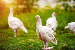 jong Turkije op een landbouwbedrijf stock foto's