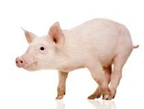 Jong varken (+/1 maand) royalty-vrije stock afbeeldingen