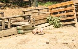 Jong varken op het landbouwbedrijf Stock Foto