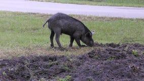 Jong wild varken het graven vuil stock video