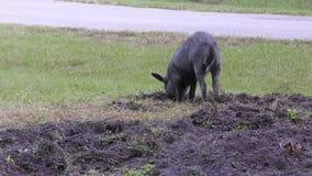 Jong wild varken het graven vuil stock videobeelden
