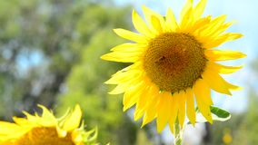 Jong zonnebloemclose-up in wind stock footage