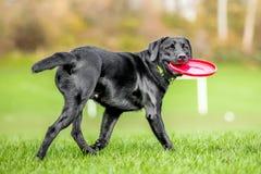 Jong Zwart Labrador die een vliegende schijf houden terug kijkend stock afbeelding