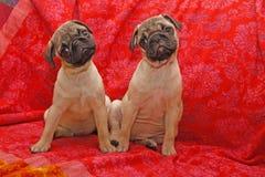 Jonge 10 weken oude pugs Stock Foto's