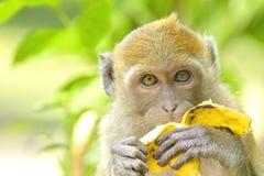 Jonge aap die banaan eten Stock Fotografie