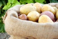 Jonge aardappel royalty-vrije stock fotografie