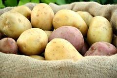 Jonge aardappel stock fotografie