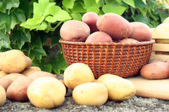 Jonge aardappel royalty-vrije stock foto's