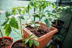 Jonge aardappelplant in de pot Vers en gezond voedselconcept Natuurvoedingproductie op dorpslandbouwbedrijven preparing royalty-vrije stock foto's