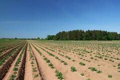 Jonge aardappelplanten stock foto