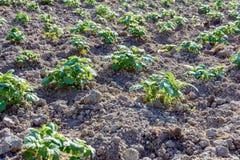 Jonge aardappelplanten die op de grond in rijen groeien stock fotografie