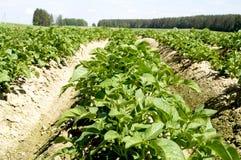 Jonge aardappelspruiten Royalty-vrije Stock Fotografie