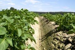 Jonge aardappelspruiten Royalty-vrije Stock Foto