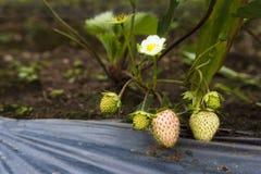 Jonge aardbeien die neer van de boom met zijn witte flo hangen Royalty-vrije Stock Foto's
